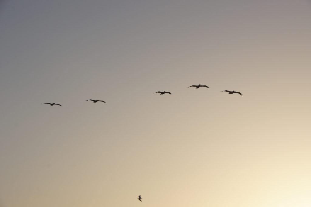 Pelicans in Port Aransas | www.portaransastex.com