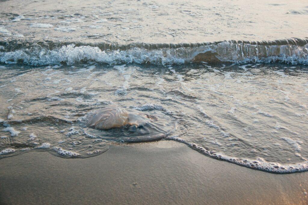 Jellyfish on the beach   Port Aransas Explorer